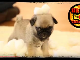 Pug Puppy vs Cotton