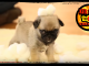 Pug Puppy vs Cotton