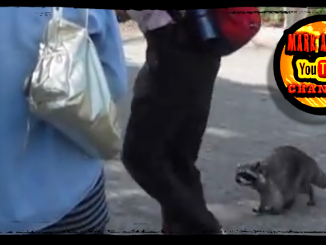 Raccoon Stalker