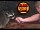 Raccoon Tamer