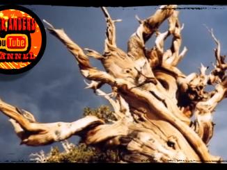 World's Oldest Tree